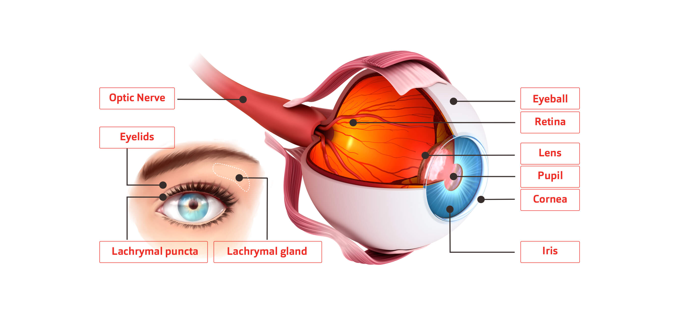 An illustrated cross-section diagram of a human eye.